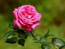 Yokohama_rose