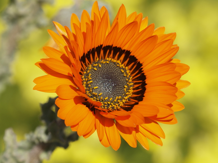 Sundialflower