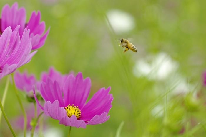 Flying_bee